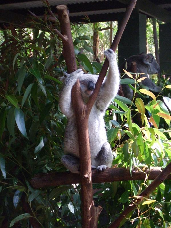 Koala having a stretch, Australia Zoo