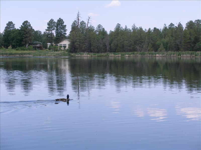 Mother duck looking for her ducklings.