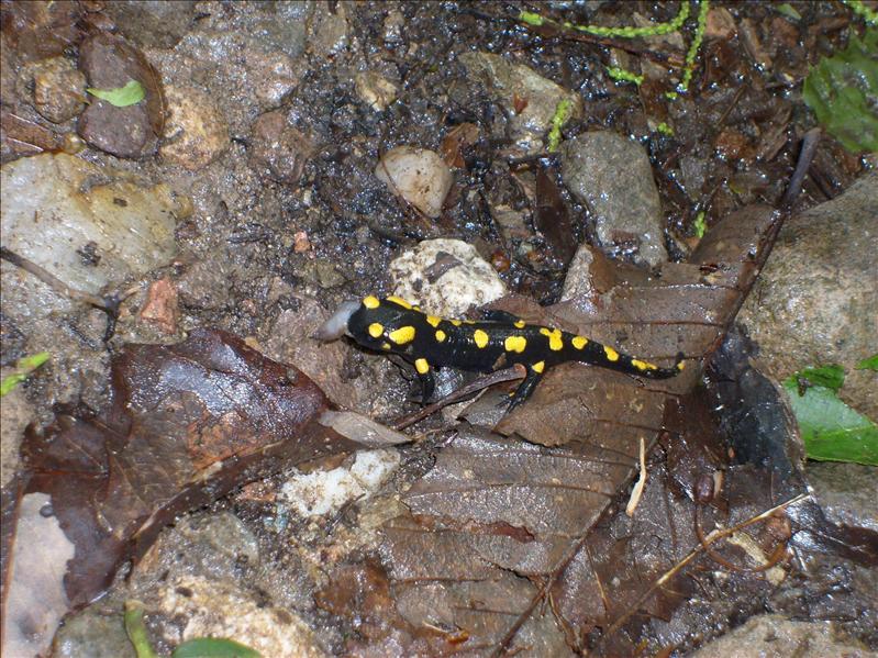 salamander•2009