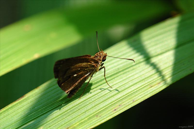 腌翅弄蝶 Astictopterus jama (Forest Hopper.)
