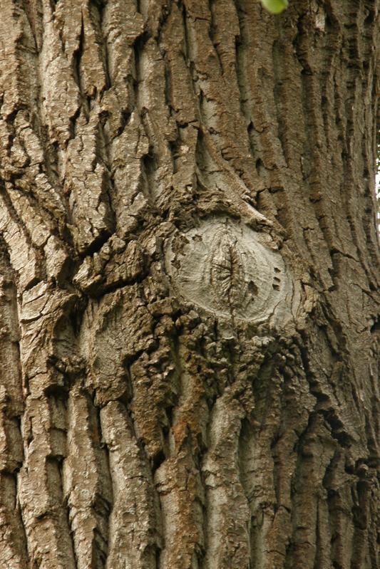 Tree's eye