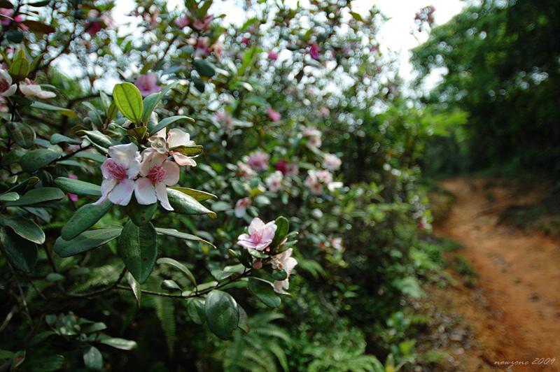 桃金娘 (山棯 or 崗稔) Rhodomyrtus tomentosa (Rose Myrtle)