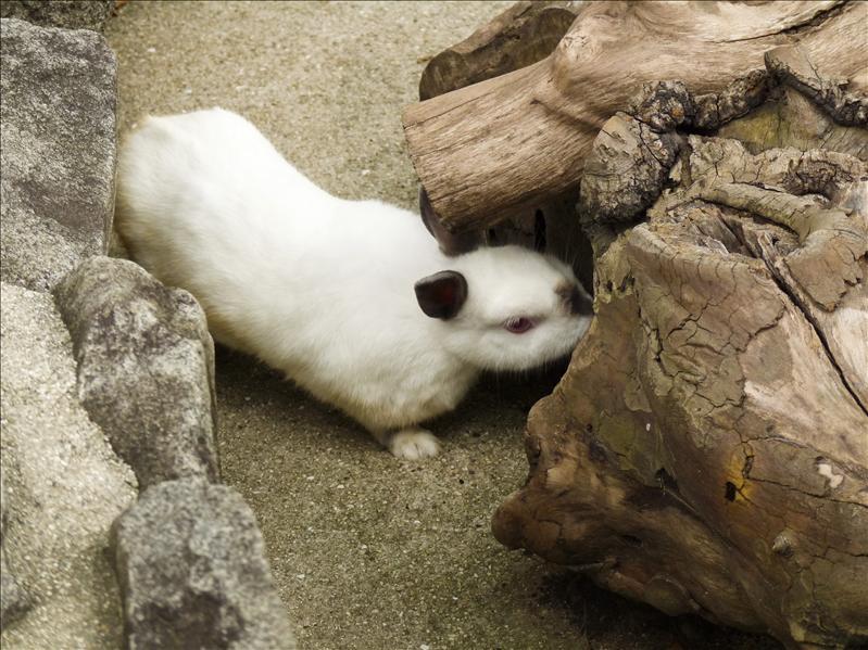 siamese rabbit:)
