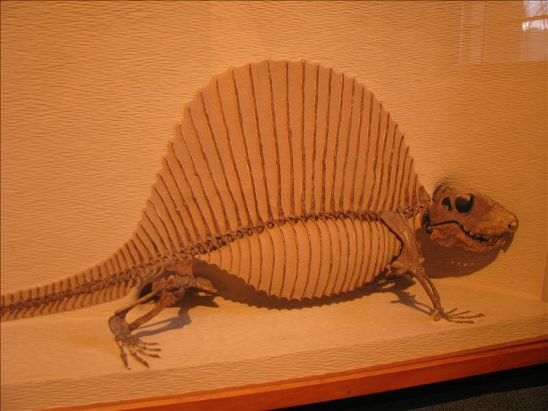 Dimetrodon, kleiner dan ik dacht (kwam tot mijn middel)