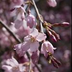 Spring Himeji&Hariko