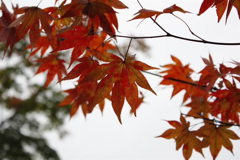 永觀堂的紅葉