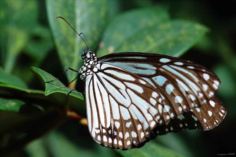 絹斑蝶Parantica aglea (Glassy Tiger)