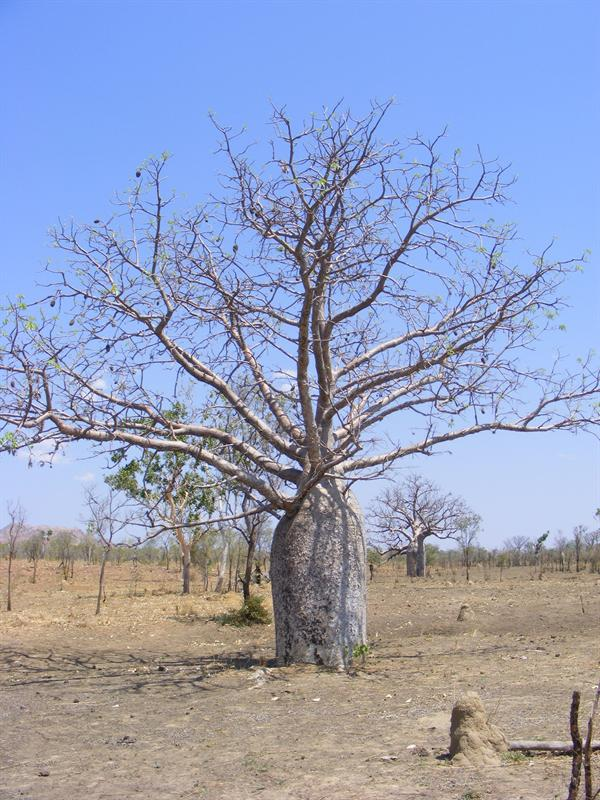 Boab Tree, Gibb River Road