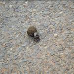 Dung Beetle / Scarabée Bousier