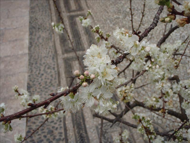 erry blossoms, Lijiang