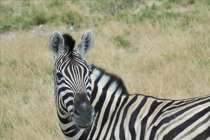 Zebra's face