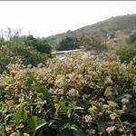 Mikania micrantha 薇金菊