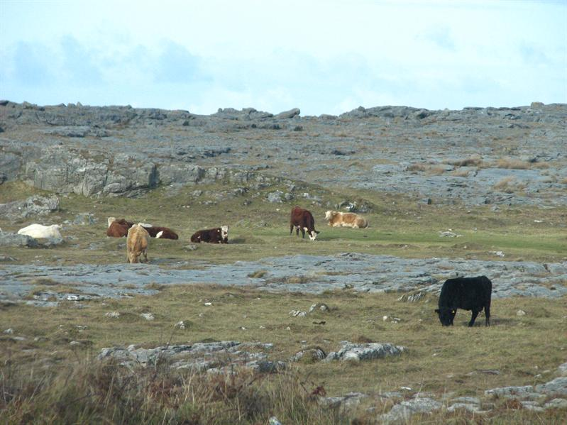Cows out on the rocks with no gates