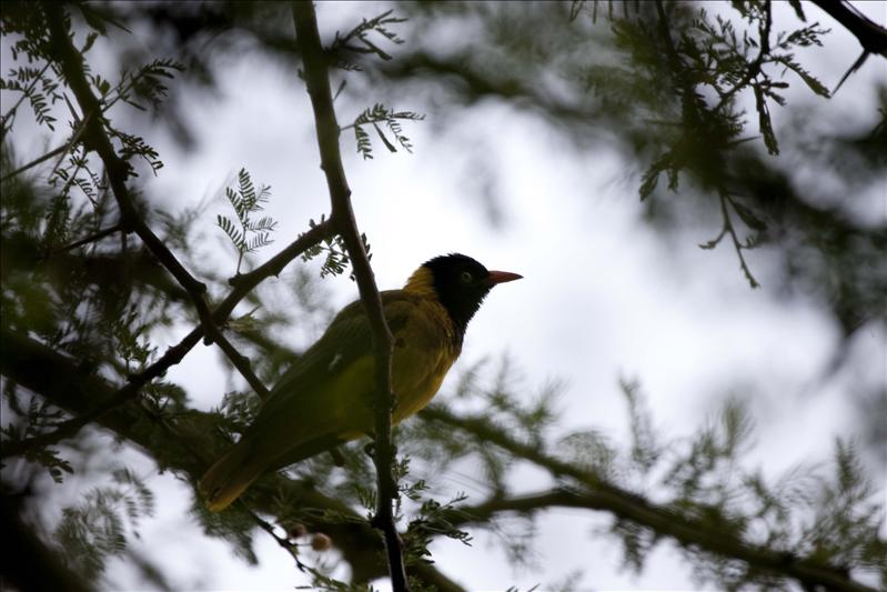 Blacked Headed Weaver Bird