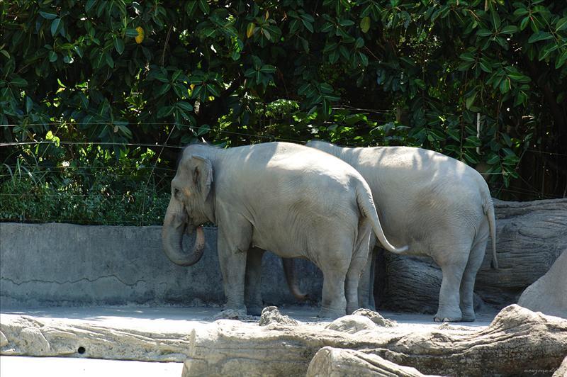 亞洲象 Asian Elephant