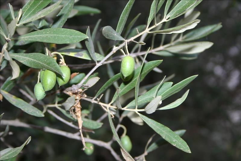Meknesi Olives