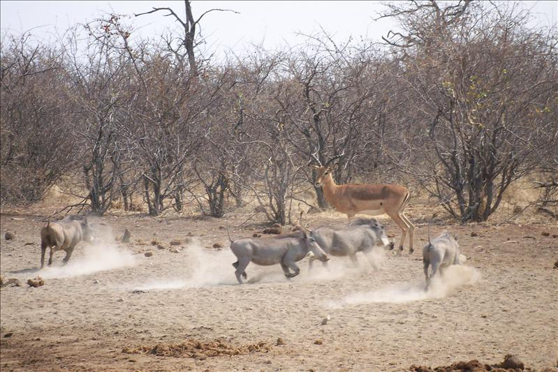 Warthogs running / Phacochères courant
