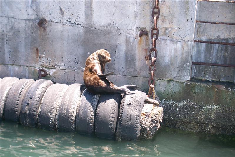 phoque dans le port de plaisance