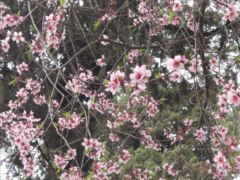 cherr blossoms, Lijiang