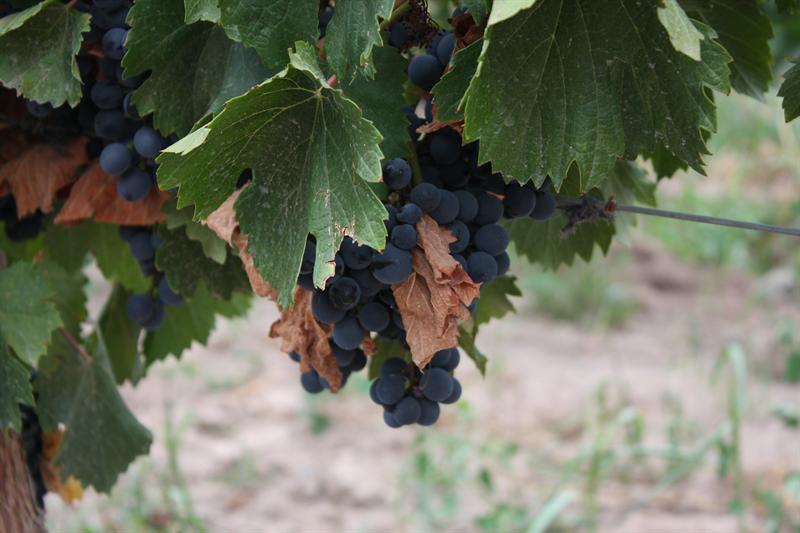 Grapes - prefer them as wine...