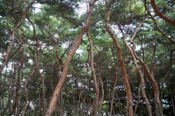 09/14 - chuseok @ seolleung park royal tombs -   i love these trees!