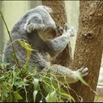 coala:)