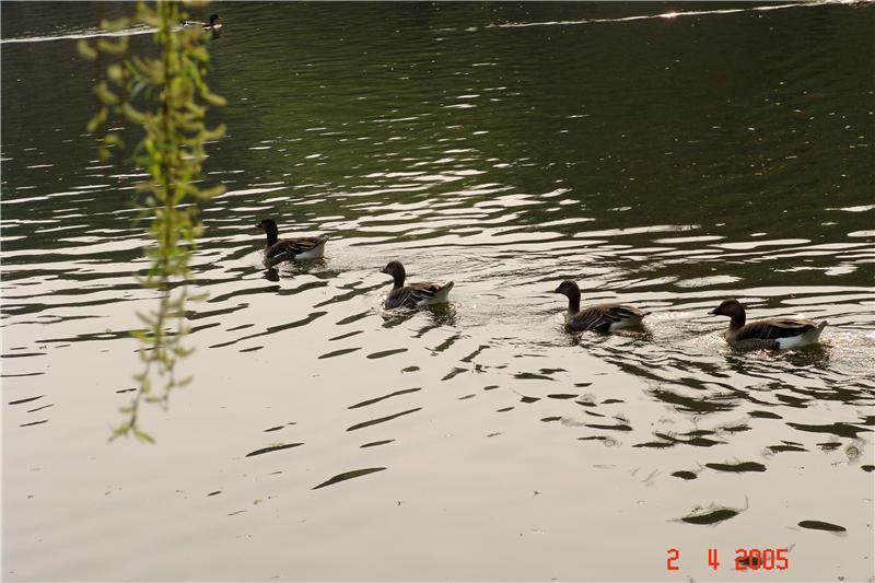 野鸭、西郊公园