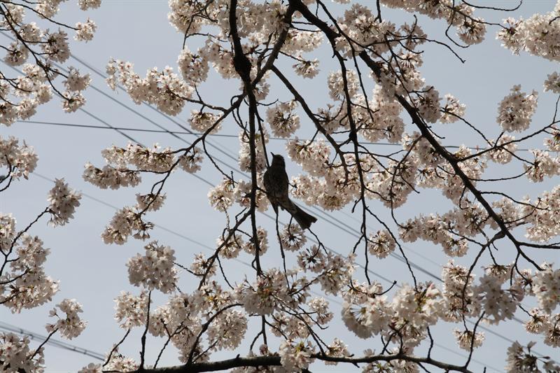Bird's hanami