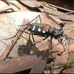 DSCN8587 黃點虎甲蟲.jpg