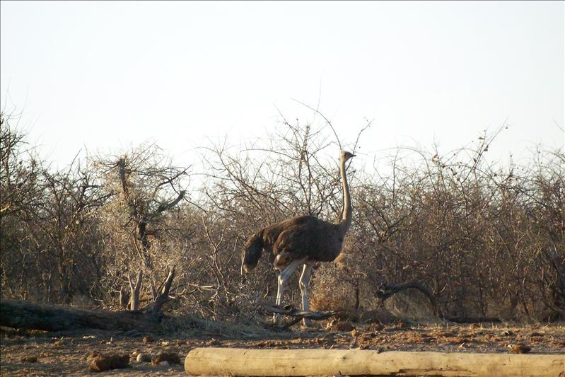 Ostrich (female) / Autruche femelle