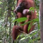 11. Sumatra - Orang-utan.JPG