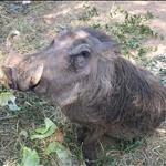 very big warthog / phacochère bien nourri