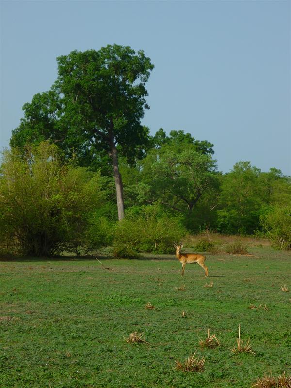 Mole Nationalpark - Antilope