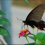 DSC_4051 美鳳蝶Papilio Memnon (Great Mormon).jpg
