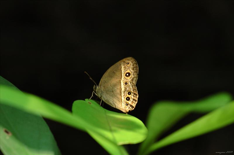 小眉眼蝶 Mycalesis mineus (Dark-band Bush Brown)