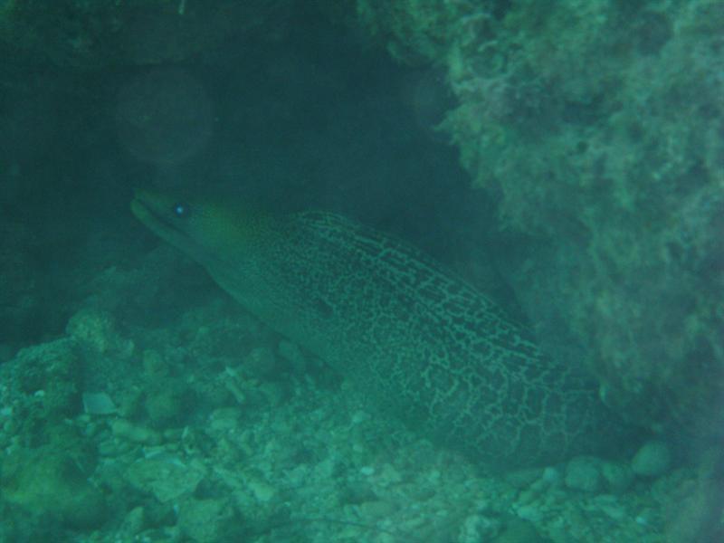 Eel, Navy Pier, Ningaloo Reef