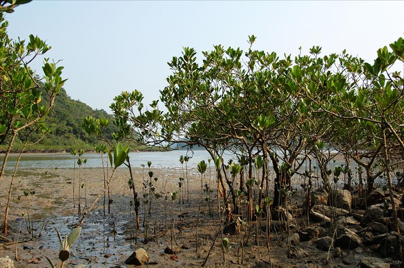 土瓜坪的紅樹林 Mangroves at To Kwa Ping