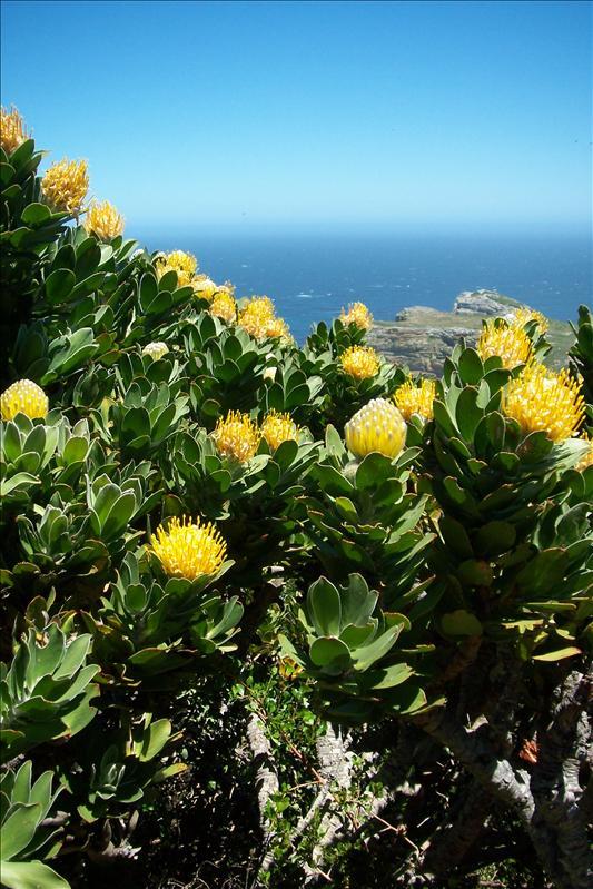 Protea (fleur emblème de l'Afrique du Sud)
