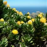 Protea (fleur emblème de l