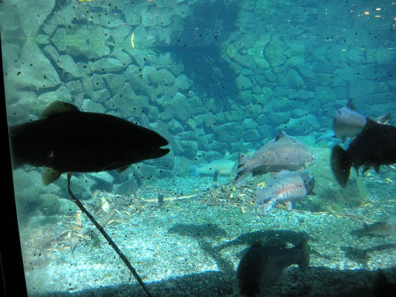 Fish in the Rainbow Springs attraction
