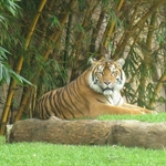 Tiger at Australia zoo