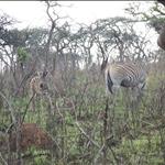 Baby zebra with mum / bébé zèbre avec sa mère