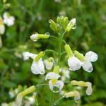 東川紅土地的白油菜花