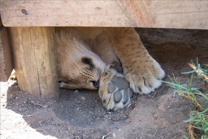 sleepy cub / sièste du lionceau