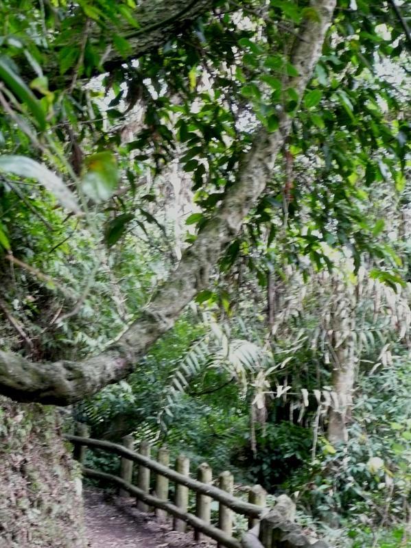 棲蘭森林步道 (18).JPG