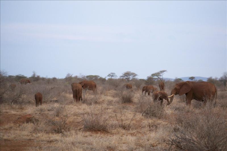Elephant, they look red because of the dust / ils sont rouge à cause de la poussière qu'ils mettent sur leur peau