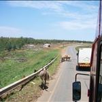 cows in the middle of the road / vaches au milieu de la route