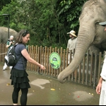 Hand feeding Asian elephants