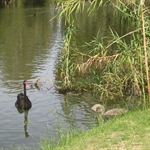 Black Swan in the Swan river
