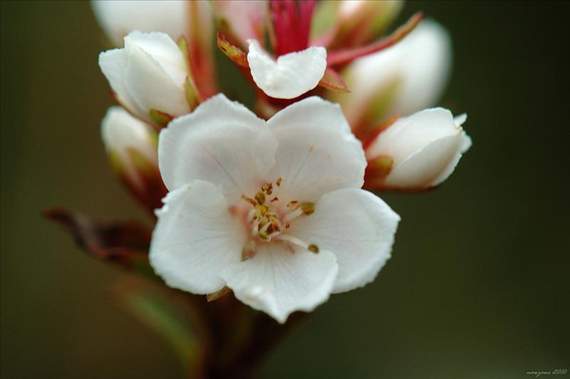 車輪梅Rhaphiolepis indica (Hong Kong Hawthorn)